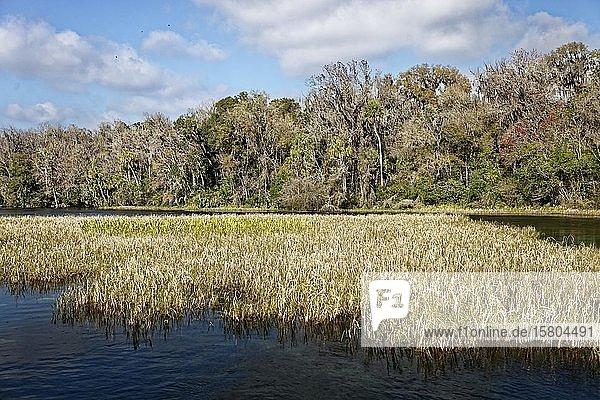 Flusslandschaft,  Schilf,  Bäume mit Louisianamoos oder Spanisches Moos (Tillandsia usneoides),  Rainbow River,  Rainbow Springs State Park,  Dunnelon,  Florida,  USA,  Nordamerika