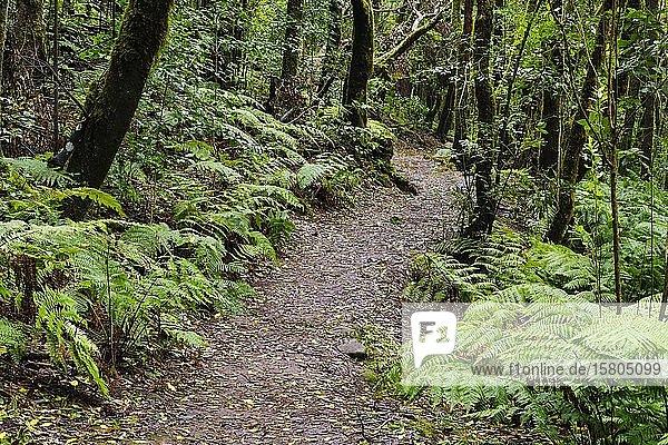 Waldweg im Nebelwald bei El Cedro  Nationalpark Garajonay  La Gomera  Kanaren  Spanien  Europa