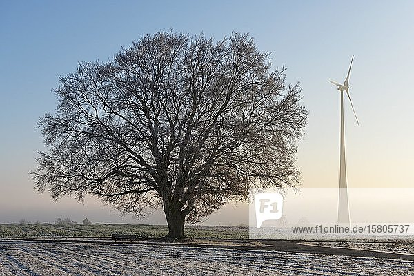 Large-leaved linden tree (Tilia platyphyllos) with wind turbine in dawn  Swabian Alb  Baden-Württemberg  Germany  Europe