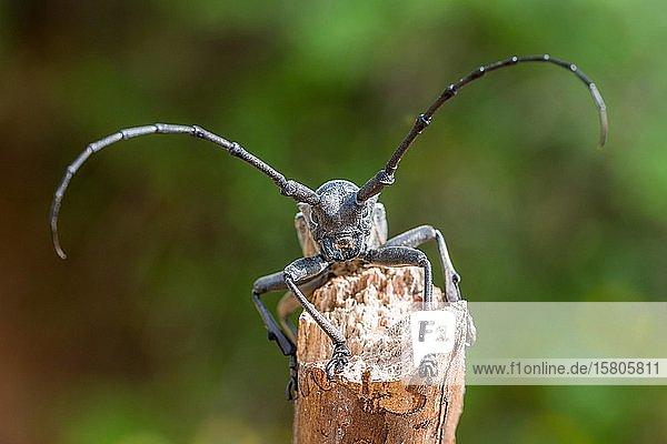 Trauerbock (Morimus asper funereus)  Tierportrait  Serres  Griechenland  Europa