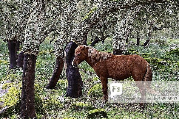Halbwildes Pferd im Korkeichenwald  Giara di Gesturi  Sardinien  Italien  Europa