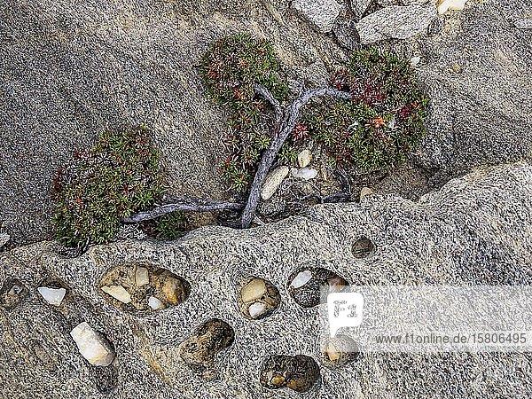 Vom Wind geformter Wacholderbaum (Juniperus) wächst zwischen Felsen  Windflüchter  Sardinien  Italien  Europa