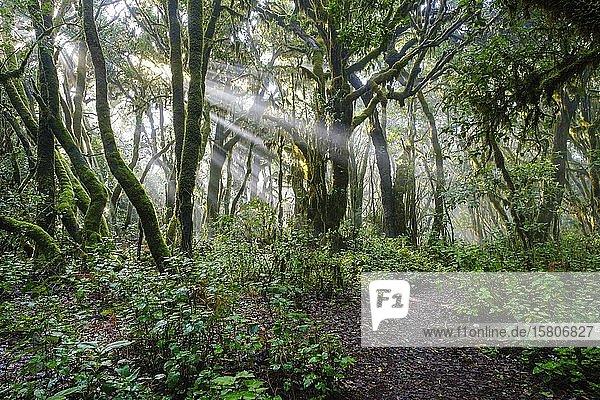 Sonnenstrahlen und Waldweg im Lorbeerwald  Nationalpark Garajonay  La Gomera  Kanaren  Spanien  Europa