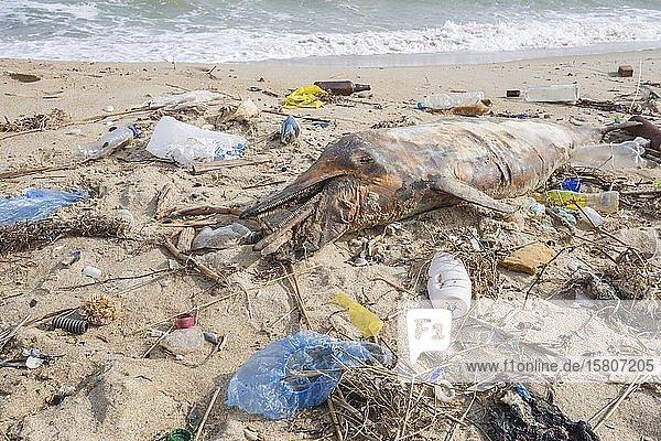 Der an den Sandstrand gespülte tote Delfin ist umgeben von Plastikmüll  Flaschen  Plastiktüten und anderen Plastiktümmern  Meeresverschmutzung durch Plastik tötet Meerestiere  Schwarzes Meer  Odessa  Ukraine  Europa