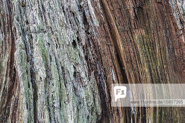Abgestorbener und verwitterter Baumstumpf  Gertelbachschlucht  Bühl  Bühlertal  Nordschwarzwald  Schwarzwald  Baden-Württemberg  Deutschland  Europa