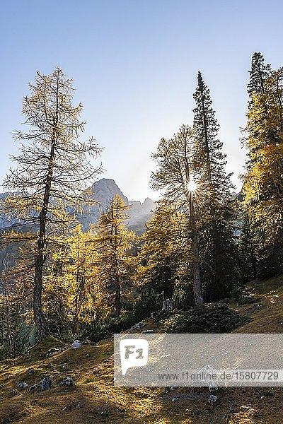 Herbstfärbung  gelbe Lärchen  hinten Sonnenspitze  Ehrwald  Mieminger Kette  Tirol  Österreich  Europa