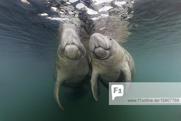 Paar Karibik-Manati oder Nagel-Manati (Trichechus manatus) an der Wasseroberfläche  Three Sisters Springs  Manati Schutzgebiet  Crystal River  Florida  USA  Nordamerika