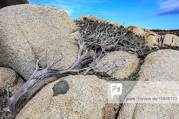 Wacholderbaum (Juniperus) wächst windgeschützt zwischen Steinen  Windflüchter  Sardinien  Italien  Europa