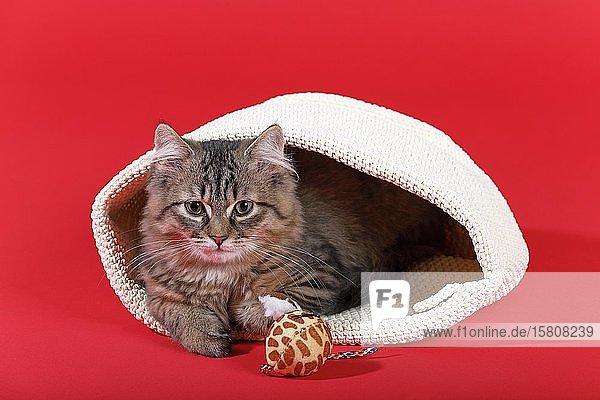 Maine Coon Katze (Felis silvestris catus)  Jungtier schaut neugierig aus einer Tasche  Deutschland  Europa