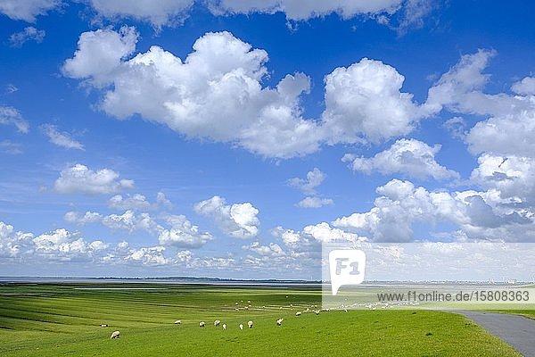 Schafe an Nordsee Deich mit Salzwiesen  Simonsberg bei Husum  Nordfriesland  Schleswig-Holstein  Deutschland  Europa