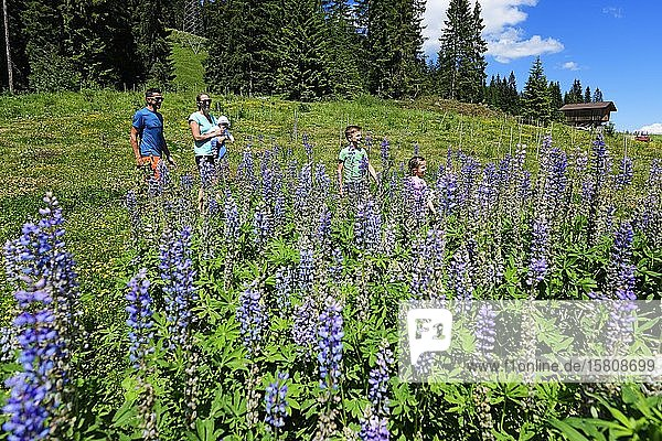 Family walks near the middle station through a field of flowering lupines  Hohe Salve  Hopfgarten  Brixental  Kitzbühel Alps  Tyrol  Austria  Europe