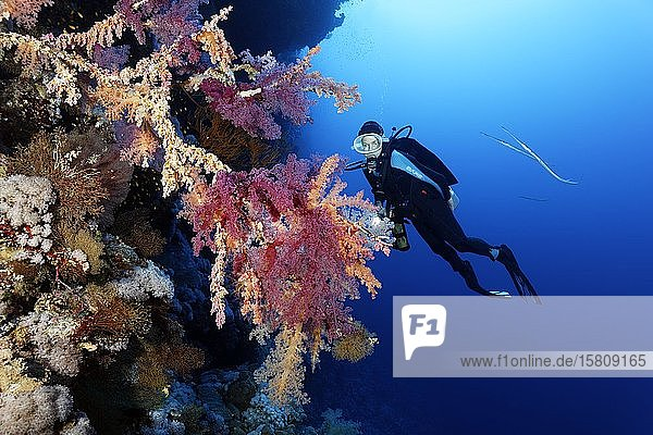 Taucher betrachtet Klunzingers Weichkorallen (Dendronephthya klunzineri) an Korallenriff-Steilwand  Rotes Meer  Ägypten  Afrika