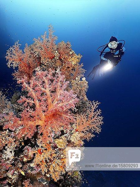 Taucher mit Lampe betrachtet Korallenriff dicht bewachsen mit verschiedenen Steinkorallen (Scleractinia) und Weichkorallen (Alcyonacea)  Straße von Tiran  Halbinsel Sinai  Scharm el Sheikh  Rotes Meer  Ägypten  Afrika