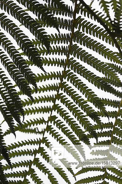 Close up grünen Farn Zweige gegen weißen Hintergrund
