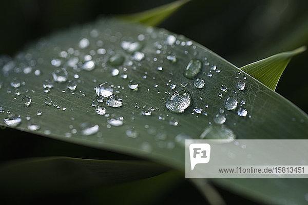 Nahaufnahme frische Regentropfen auf grünem Blatt