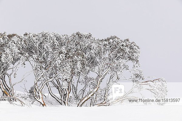 Schneebedeckte Bäume in einem verschneiten Winterfeld