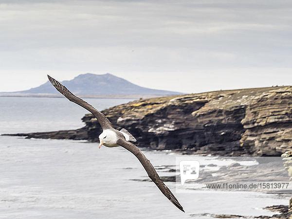 Adult black-browed albatross (Thalassarche melanophris)  in flight on Saunders Island  Falkland Islands  South America