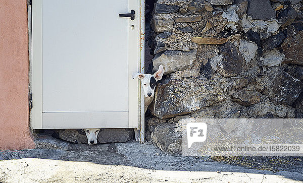 Streunende Hunde  die aus einer geschlossenen Tür beobachten  L Gomera  Spanien