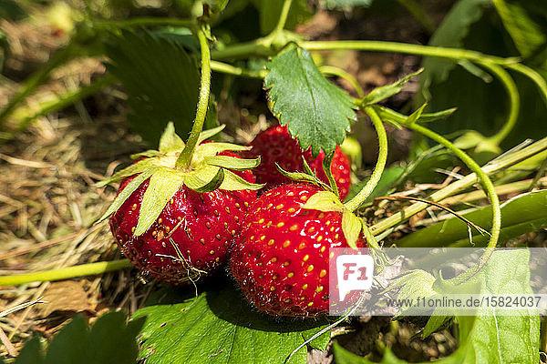 Deutschland  Reife Erdbeeren im Garten
