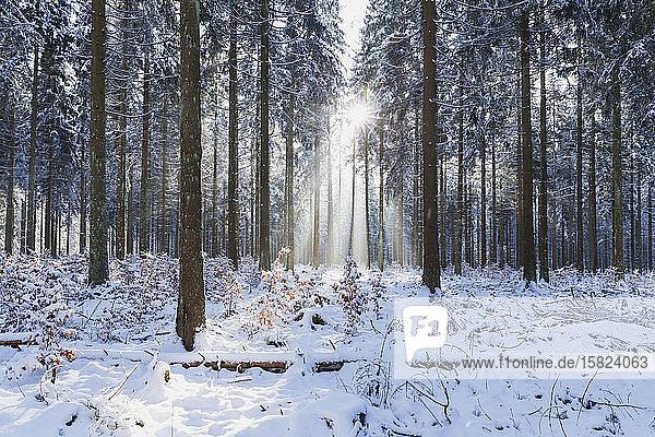 Deutschland  Nordrhein-Westfalen  Sonnenlicht beleuchtet schneebedeckten Wald im Nationalpark Eifel