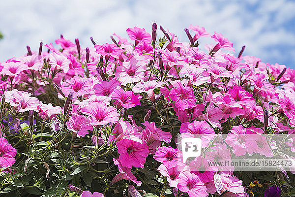 Nahaufnahme von rosa blühenden Petunienblüten