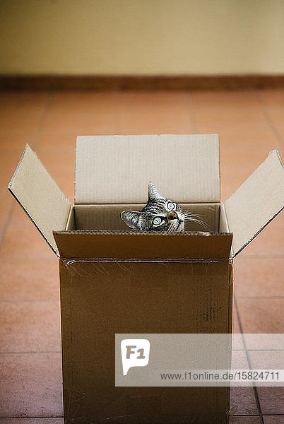 Spanien  Tabby-Katze  die aus einem Pappkarton lugt