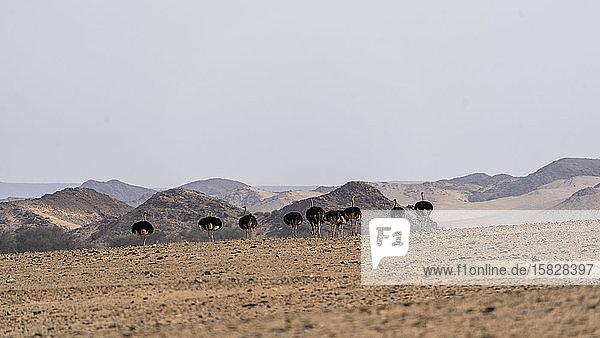 eine Gruppe von Straußenwanderungen in der namibischen Wüste