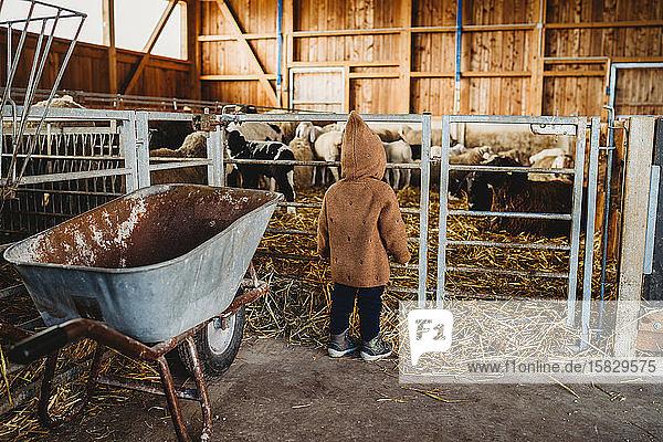 Kind auf dem Bauernhof beim Betrachten von Schafen und Lämmern