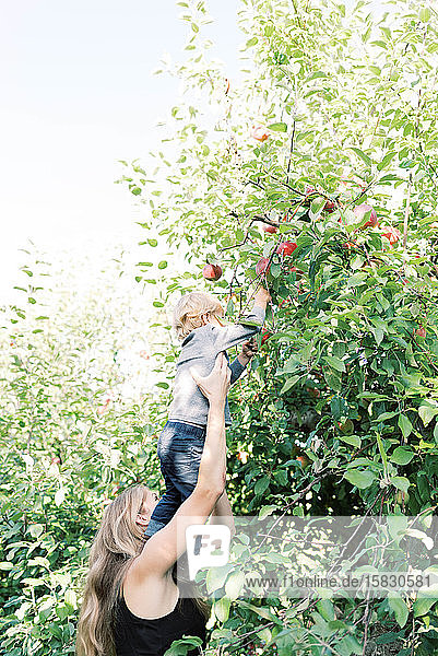 Apfelpflücken mit Mama im Obstgarten.