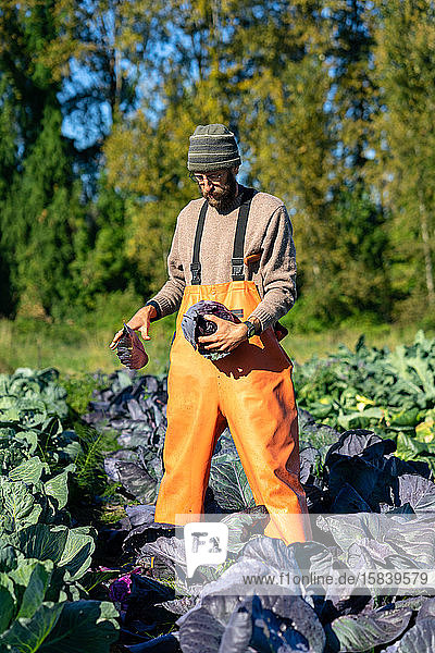 Farmer is cleaning red organic cabbage during fall harvest
