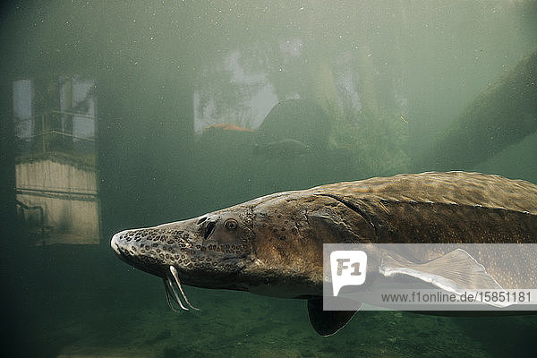 A giant sturgeon swims in a pond at the Bonneville Fish Hatchery.