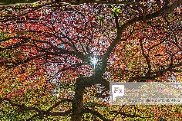 Sun shining through a colorful Japanese Maple Tree.