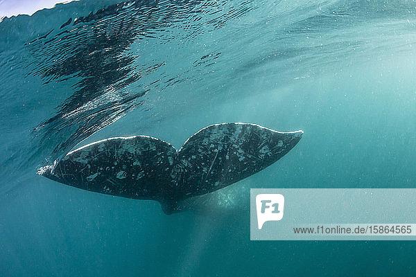 California gray whale (Eschrichtius robustus) flukes underwater in San Ignacio Lagoon  Baja California Sur  Mexico  North America