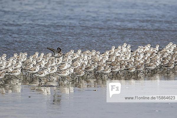 A flock of migrating sanderlings (Calidris alba)  Sand Dollar Beach  Baja California Sur  Mexico  North America
