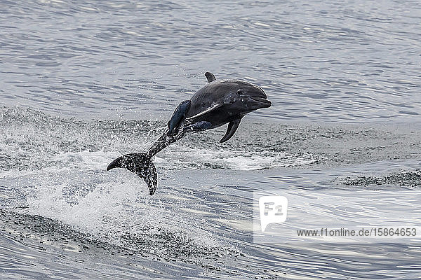 Adult bottlenose dolphin (Tursiops truncatus)  leaping into the air near Santa Rosalia  Baja California Sur  Mexico  North America