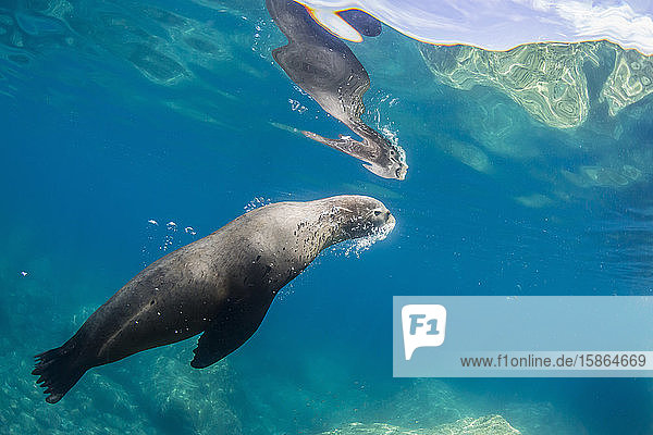 Adult California sea lion (Zalophus californianus) underwater at Los Islotes  Baja California Sur  Mexico  North America