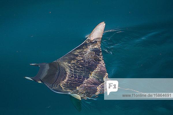Mobula  Mobula spp  with wingtips above the surface near Isla Danzante  Baja California Sur  Mexico  North America