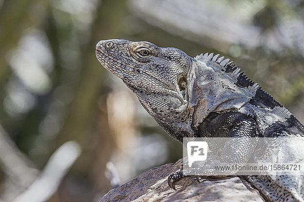 Head detail of an adult male spiny-tailed iguana (Ctenosaura conspicuosa)  on Isla San Esteban  Baja California  Mexico  North America