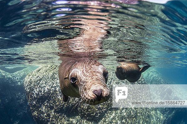 Adult California sea lions (Zalophus californianus) underwater at Los Islotes  Baja California Sur  Mexico  North America