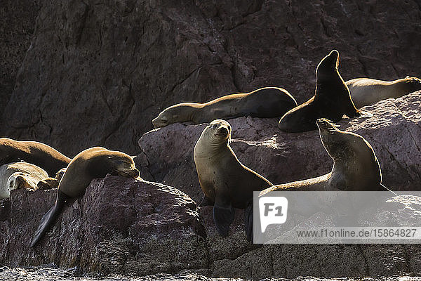 California sea lions (Zalophus californianus) hauled out on Los Islotes  Baja California Sur  Mexico  North America