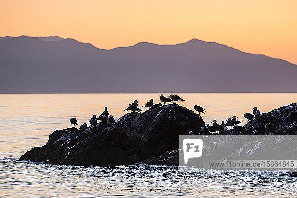 Heermann's gulls (Larus heermanni) at sunset on Isla Rasita  Baja California  Mexico  North America