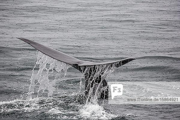 Adult sperm whale (Physeter macrocephalus) flukes-up dive near Isla San Pedro Martir  Baja California  Mexico  North America