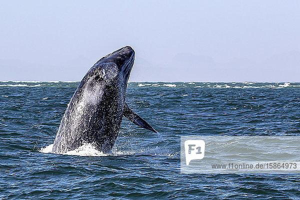 California gray whale calf (Eschrichtius robustus) breaching in San Ignacio Lagoon  Baja California Sur  Mexico  North America