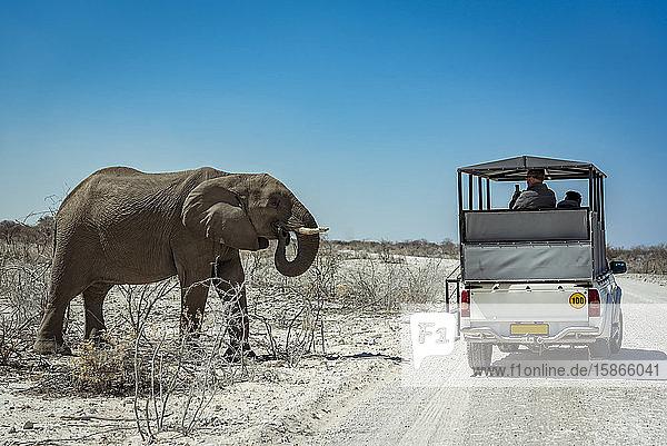 African Elephant (Loxodonta) and safari vehicle  Etosha National Park; Kunene Region  Namibia