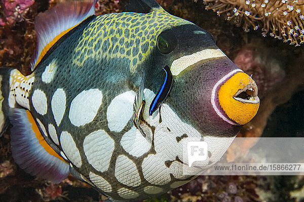 The Clown triggerfish (Balistoides conspicillum) and cleaner wrasse; Indonesia