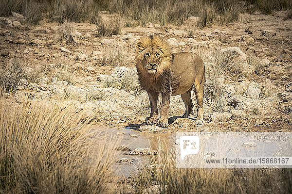 Lion (Panthera leo) drinking at a waterhole  Etosha National Park; Namibia