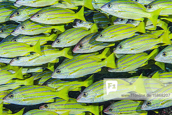 Dense school of Bluestripe Snappers (Lutjanus kasmira) at a Maui  Hawaii  USA. This is a non-native fish species. It was deliberately introduced to Hawaii in the 1950s as a food fish but now considerd to be an invasive species; Molokini Crater  Maui  Hawaii  United States of America