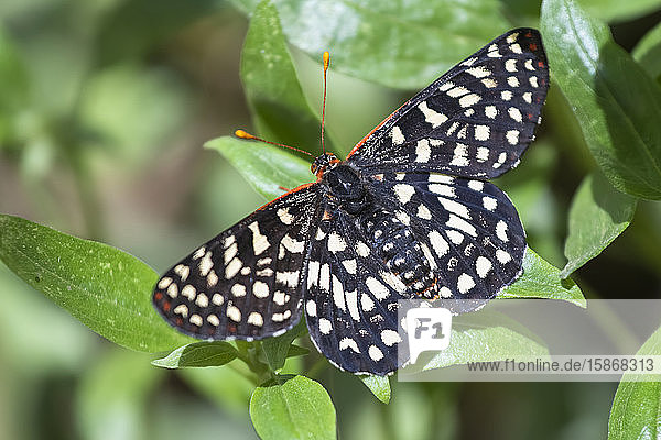 Close-up of a Calcedon Checkerspot Butterfly (Euphydryas calcedona) at the Rancho Santa Ana Botanic Garden; Claremont  California  United States of America