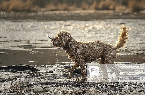 Wet dog with a stick in it's mouth walks beside a river on the muddy shore; Ravensworth  North Yorkshire  England