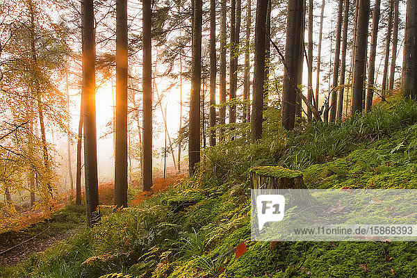 Tree stump and forest floor in woodland at sunrise covered in fog; Fermoy  County Cork  Ireland